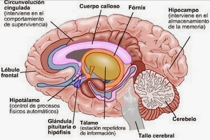 sistema-limbico- talamo-hipotalamo
