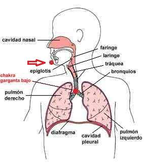 Chakra epiglotis y chakra garganta bajo